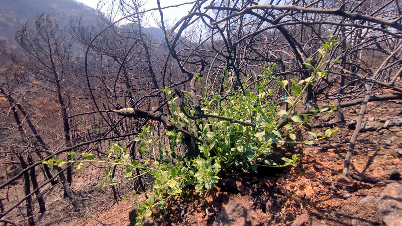 """<p><strong>'MARMARİS KÜLLERİNDEN DOĞUYOR'</strong></p><p>Gezgin ve doğasever Sait Kılıçsallayan da yanan orman alanlarında incelemelerde bulundu. Kılıçsallayan, sosyal medya hesabından yanmış veya kısmen zarar görmüş ağaçların altında büyüyen bitki örtüsünü çekerek, paylaşımda bulundu. Marmaris'in küllerinden doğmaya ve büyümeye devam ettiğini söyleyen Kılıçsallayan, """"Yanan yerlerde yeşili görünce çok mutlu oldum. Doğa yeşerecek ve zamanla büyüyerek her yeri kaplayacak. Bir yıl geçmeden bu siyah alanlar yeşil olacaktır. Doğa yeniden fışkırmaya başladı. Kısa sürede Marmaris'in eski yeşilliğine kavuşacağına inanıyorum"""" dedi.&nbsp;</p>"""