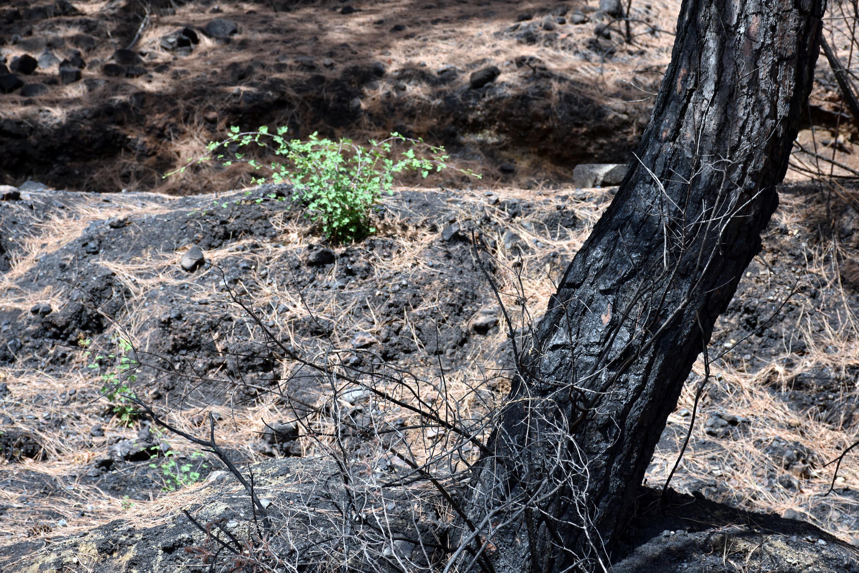 <p>Tamamen ve kısmen yanan bazı ormanlık alanlarda bitkiler 50 günde boy vermeye başladı. Marmaris-İçmeler yolunun 11'inci kilometresinde kül olan Pamucak mevkisi civarındaki yerleşim alanlarına yakın orman yerlerini, yeşil bitki örtüsü sarmaya başladı. İlçenin 34 kilometre kırsalında yangından en çok etkilenen Osmaniye-Bayır mahalleleri arasında, yanan alanlarda kısmen zarar gören kızılçam ağaçlarının dibinde ve çevresindeki filizlenmeler dikkat çekti.<br></p>