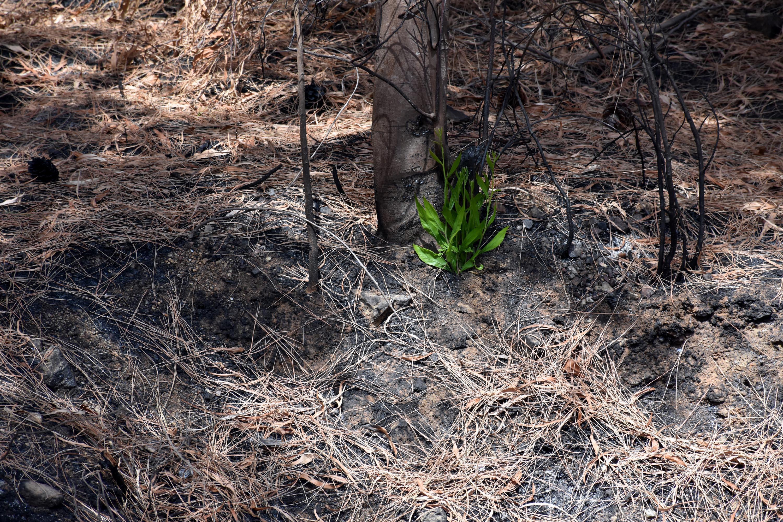 <p>Yanan alanlarda incelemelerde bulunan Muğla Sıtkı Koçman Üniversitesi Çevre Koruma Teknolojileri Bölümü Öğretim Görevlisi Dr. Yasin İlemin, maki türlerinin yeşerdiğini belirterek, yangından az etkilenen bölgelerde canlı türlerinin görülmeye başladığını söyledi.<br></p>