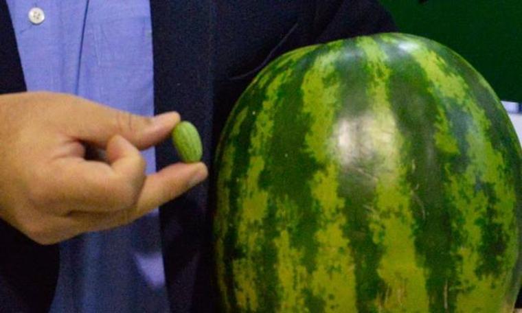 Türkiye'de üretiliyor: 5 gramlık karpuz