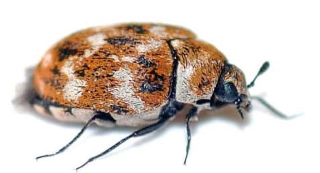 Evinizde 500 farklı böcekle yaşadığınızı biliyor musunuz?