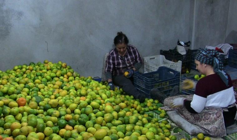 Samandağ mandalinasında ihracat başladı