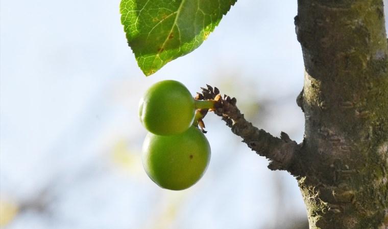 Erik ağacı kasımda meyve verdi