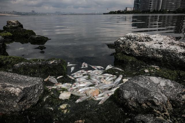 Küçükçekmece Gölü'nde toplu balık ölümleri