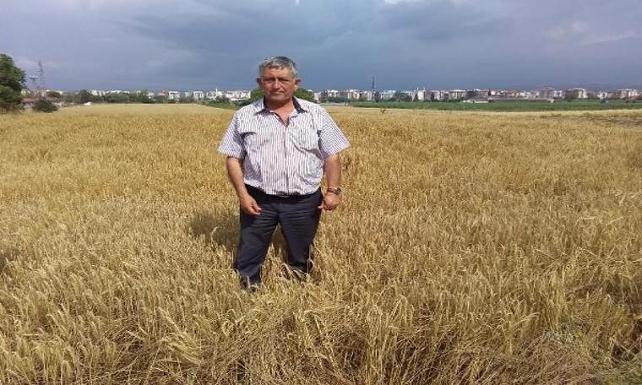 Yenişehir'de, buğday hasadına yağmur engeli