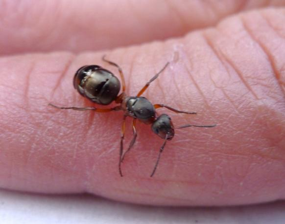 Karıncalar doğaları gereği duvara tırmanabildiğinden, mutfağınızdaki hazineyi keşfettiklerinde onları hiçbir şey durduramıyor. Mutlaka bir delik veya çatlak bulup oradan mutfağa sızıyorlar.  Bir kötü yanı da karıncaların ısırması.  Her ne kadar karıncalardan kurtulmak isteseniz de onları öldürmeye gönlünüz el vermiyor. Bu nedenle size harika bir çözüm sunuyoruz.