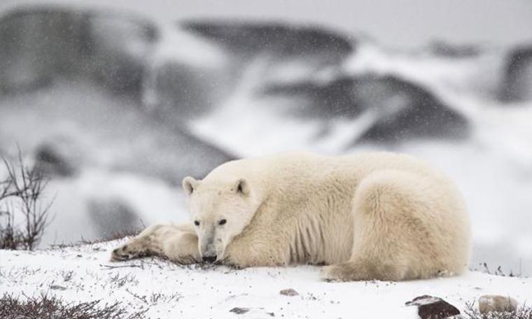 Kutup ayılarının açlık yılları