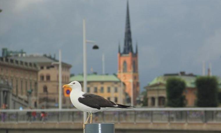 Stockholm'ün gürültücü martıları