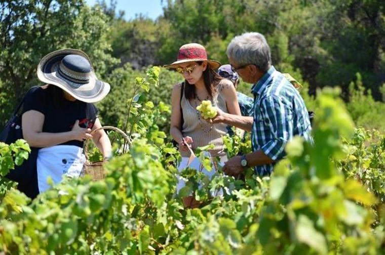 Bozcaada'daki 5 bin yıllık üzüm bağları tarım turizmi ile tanıştı