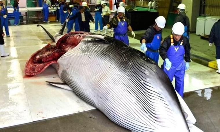 Japonya'da 33 yıl sonra ilk mezat: Balina etinin kilosu 140 dolardan satıldı