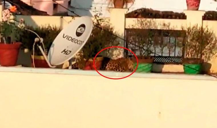 Çatıda uyuya kalan leopar böyle yakalandı
