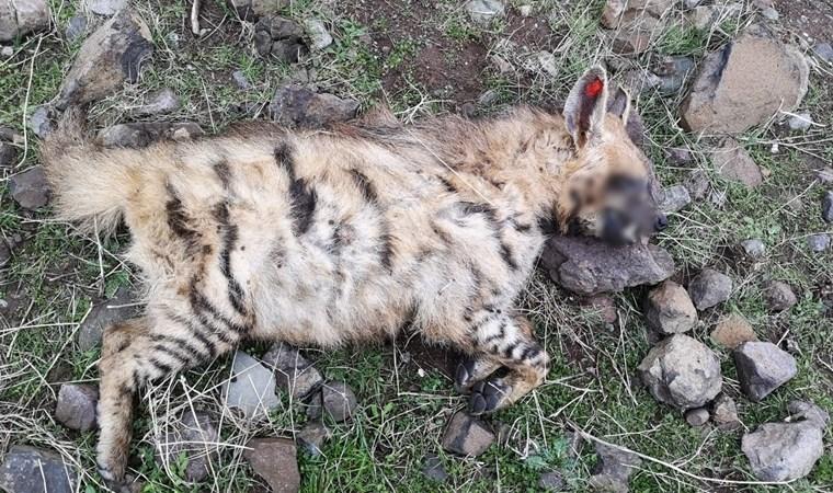 Türüne ender rastlanıyor! Şanlıurfa'da ölü olarak görüntülendi