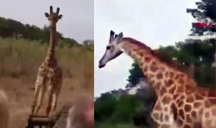 Safaride korku dolu anlar! Zürafa peşlerini bırakmadı