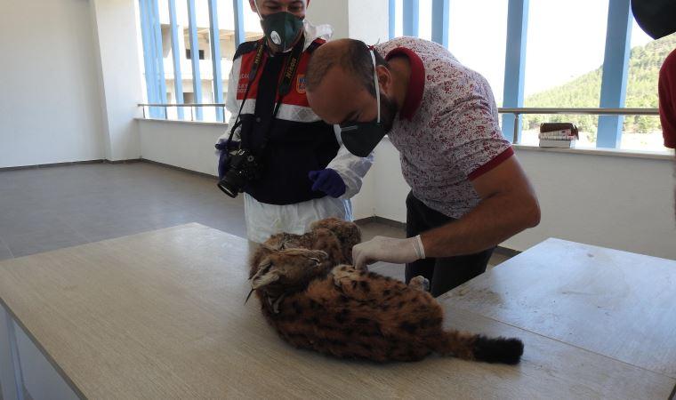 Türkiye'de ilk defa bir yaban hayvanı ölüsüne kriminal inceleme yapıldı