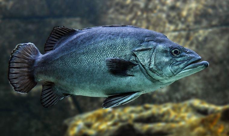 81 yaşına kadar yaşayan balık keşfedildi