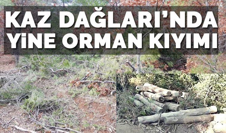 Kaz dağlarında ağaç katliamı!