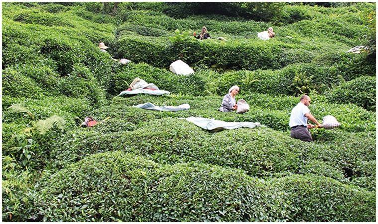 40 bin çay işçisi bu sene gelemiyor