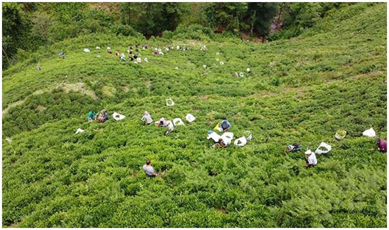 İlk kez oldu: Rize'de çay toplama seferberliği