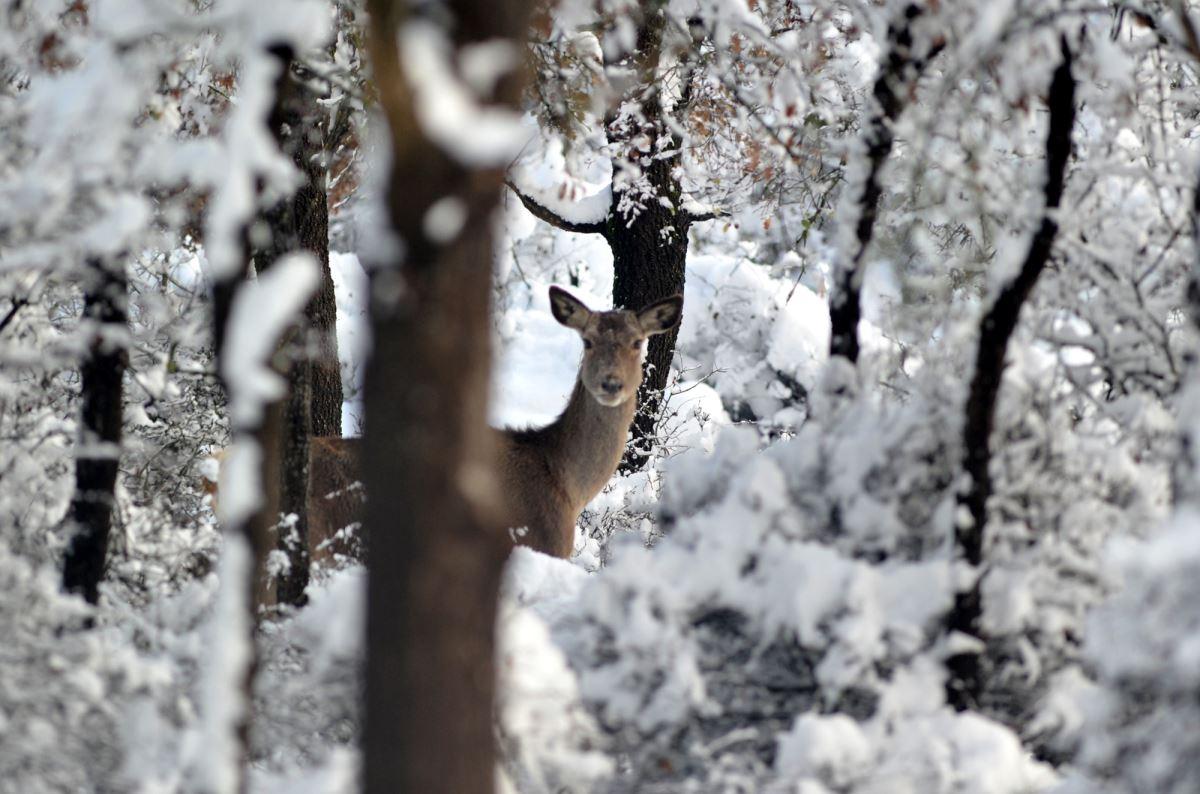 <p>Bursa Uludağ Üniversitesi'ndeki Kızıl Geyik Yetiştirme Merkezi'ndeki geyikler, karla kaplı ormanda görüntülendi.<br></p>