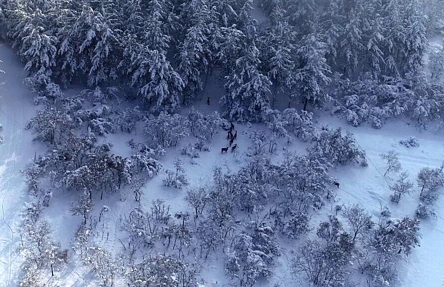 <p>Üç erkek yedi dişi ile başlanan kızıl geyik yetiştirme çalışmaları sonunda sayının geçen yıl 100'e ulaştığı belirtildi.<br></p>