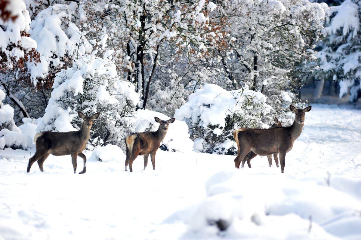 <p>Geyiklerin karlı ormanda koştuğu anlar dronla havadan görüntülenirken, ortaya kartposttalık görüntüler çıktı.<br></p>