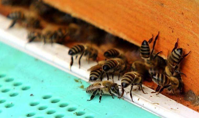 Güney Afrika'da arılar arasında yeni hastalık: Peteklerin rengi ve şekli değişiyor