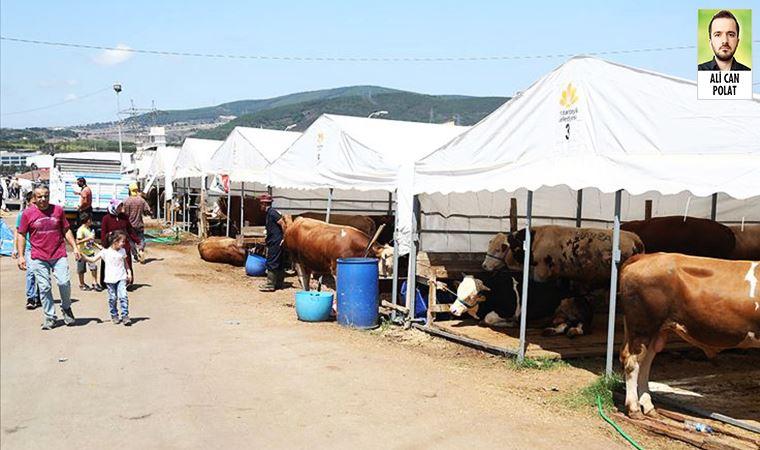 Et ve Süt Kurumu, kurbanlıkları maliyetin altında alacak