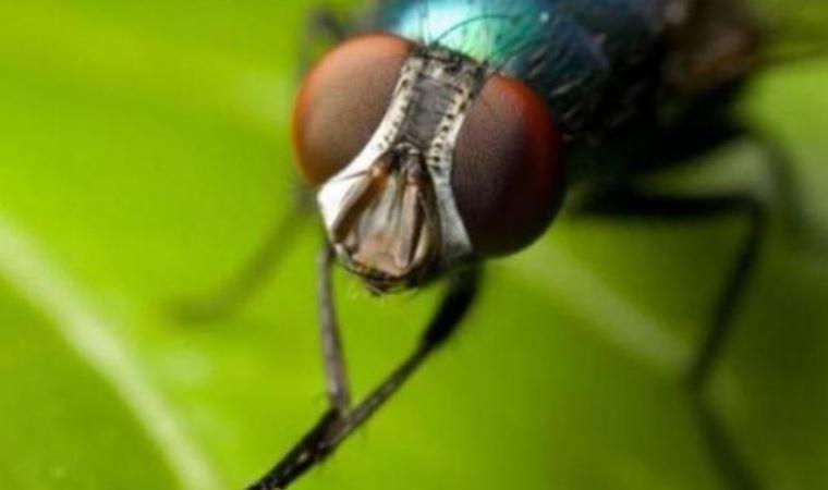 Baldırsokan sineği nedir, nasıl korunulur ? İstanbul'da yeni tehlike: Baldırsokan!