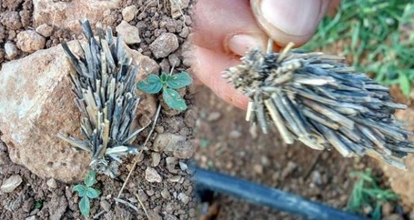 Bitki kökü sandılar gerçek incelemede ortaya çıktı